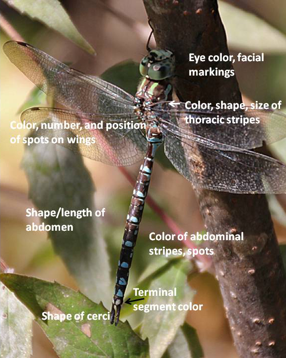 Some of the important characteristics used to identify dragonflies.