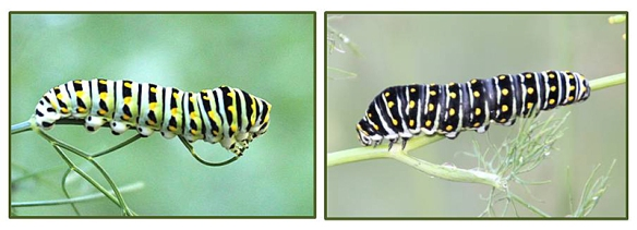 Green (summer version) and Black (fall version) of the Black Swallowtail caterpillar.