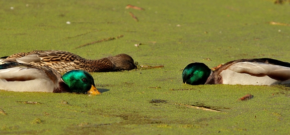 Mallards were feeding just as intensively as the Shovelers, but concentrating on the duckweed in the stagnant parts of the marsh.