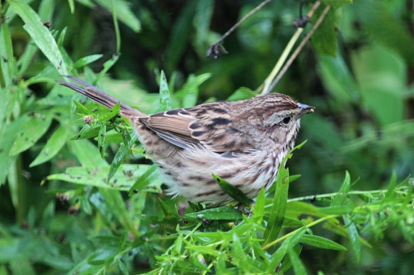 Lower down in the bushes a Song Sparrow was hunting for seeds as well.