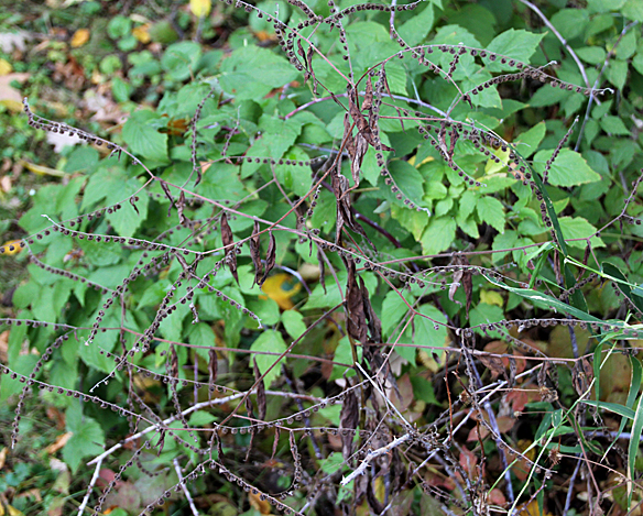 Not the prettiest plant in the forest, although it is a native biennial herb.  Beware of this pesky leafless, spiny-stemmed hitch hiker in the fall.