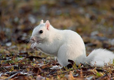 A white variant of the gray squirrel has all white, or white with faint gray patches, fur and dark pigmented eyes.