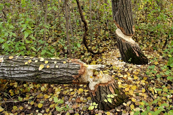 Five, mostly large birch, trees had succumbed to beaver logging.