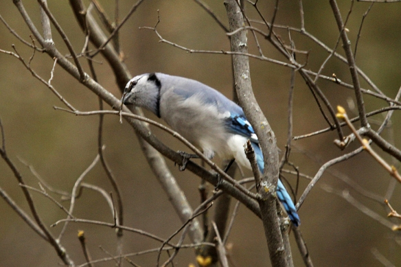 The bluejay gave it a really good look, first with one eye and then with the other.
