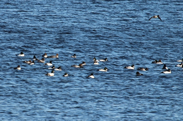 In their own tight little group, Common Goldeneye are easily spotted by their bright white chest and sides and dark heads.