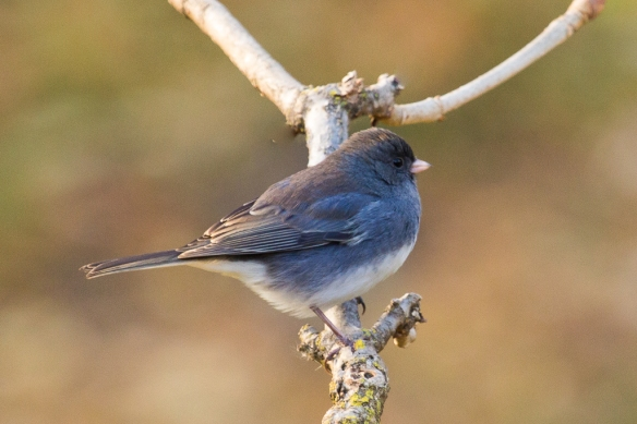 I removed some of the twiggy branches in the background and lightened the background to make the Junco stand out a little better.