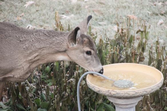 Amazing! Deer drinks from bird bath!
