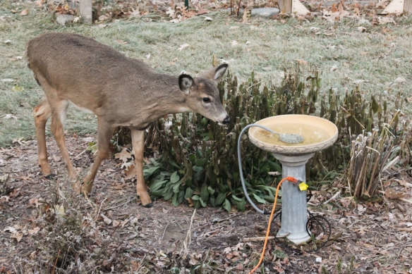 All that eating required some water to wash the food down.  I have never seen the deer show any interest in this bird bath in the summer.