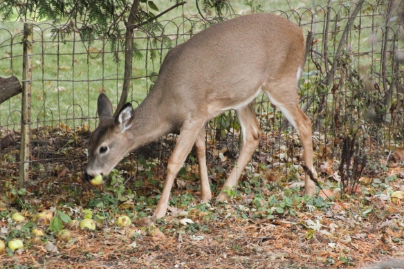 I threw a few rotten apples over by the fence, and the deer managed to find them in less than 6 hours.