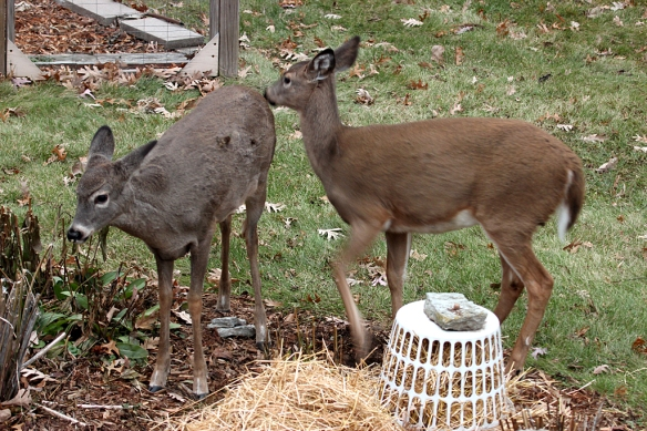 The twins were less than impressed.  The one on the right gave the acorn a sniff, but couldn't get away fast enough.