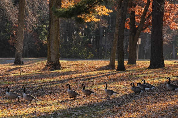 Even crossing the wide open spaces of the parkland, geese move slowly in single file toward their destination -- in this case a creek.