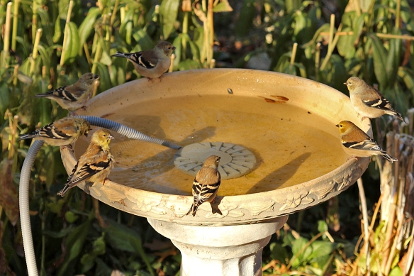 """I call this my """"goldfinch clock"""", because they arranged themselves so nicely around the rim."""