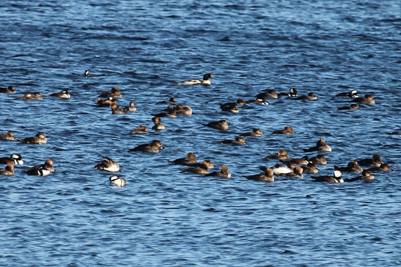 A group  of Hooded Mergansers, with a larger Common Merganser male (pink-red bill) in the back.