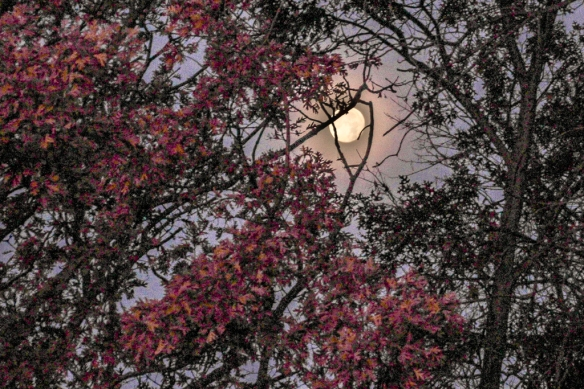 It's difficult to avoid over-exposing the bright moon and still capture some color in the oak leaves.