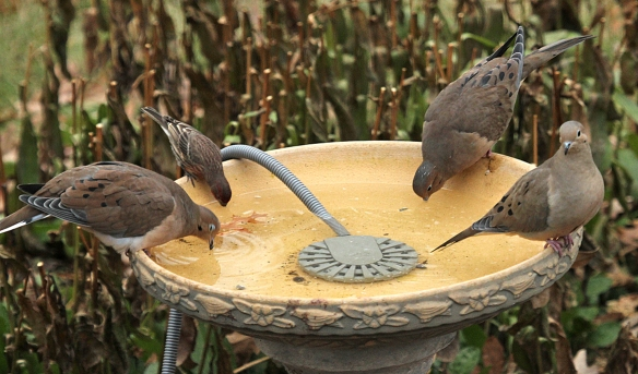 After a big feast on bird seed, thirsty birds down water at the local pub.