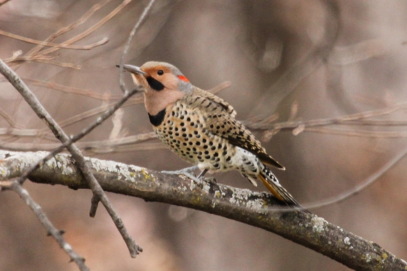 This species used to be called Yellow-shafter Flicker, for the yellow color under its wings and tail, which you can just barely see in this photo.