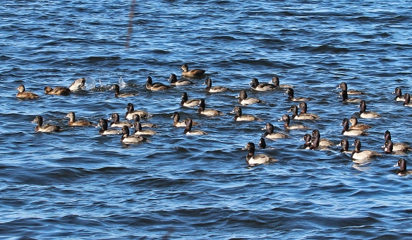 This is just a small part of a long line of Ring-necked Ducks, mostly males, with a few scattered females here and there.