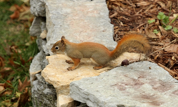 The red squirrel barely gave my acorn a glance before moving off to find other goodies.