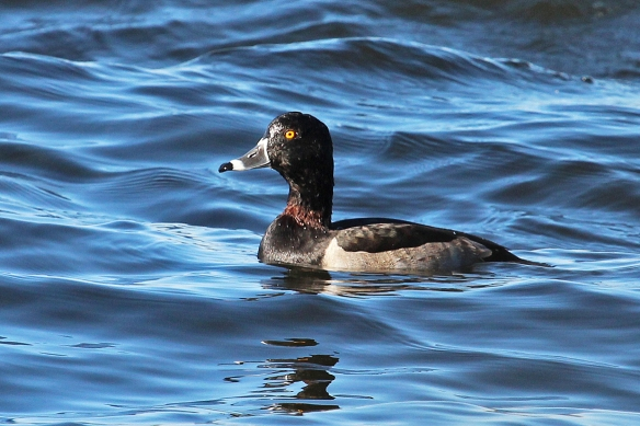 And finally, we see why these are called Ring-necked Ducks.  There is a chesnut-colored ring of feathers at the base of the neck, rarely seen.