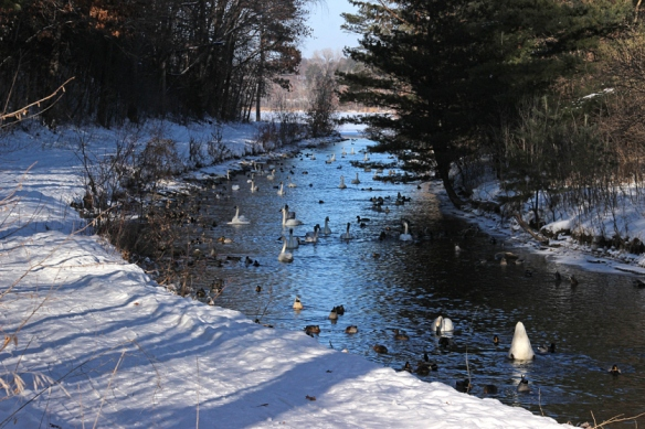 Last winter (January), I found over 50 Trumpeter Swans foraging in this small channel between the two lakes.  They scrape the bottom of the creek completely clean of fallen leaves.
