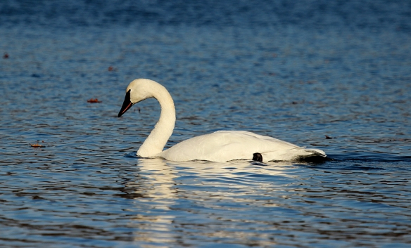 Both Trumpeter and Tundra Swans migrate through Minnesota in search of open water in the fall and early winter.  Their loud trumpeting calls and large body size (and longer neck) distinguish the Trumpeter Swans from their look-alike cousins.