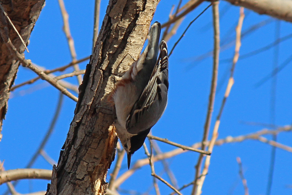 Hanging head-down and upside down, Nuthatches must get a different view of the same patch of tree bark than woodpeckers.