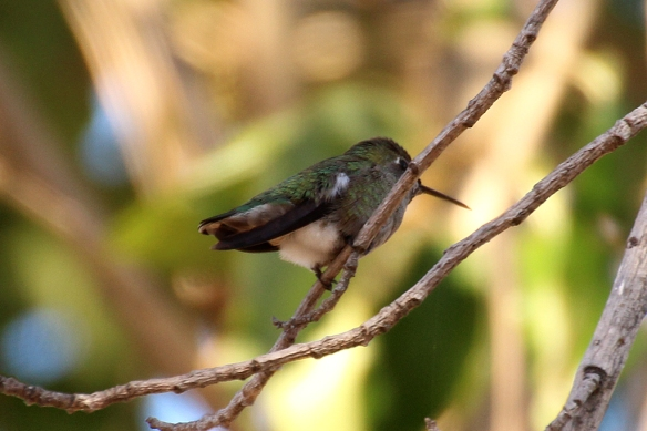 anna Hummingbirds used the lower branches of the sycamore as resting or singing perches.