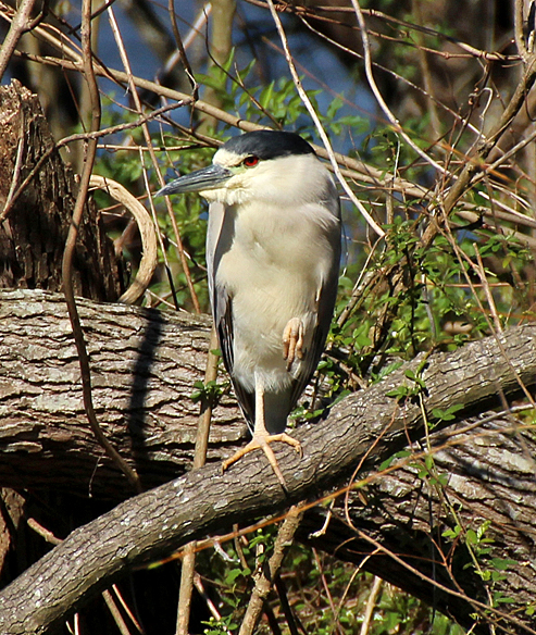 An adult Black-crowned Night Heron photographed last February at Bayou Segnette park in New Orleans.