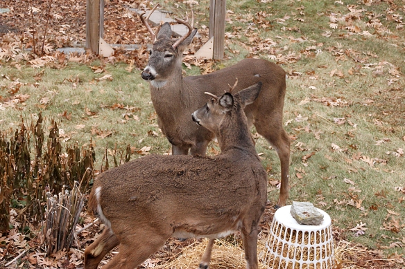 white-tailed bucks facing off