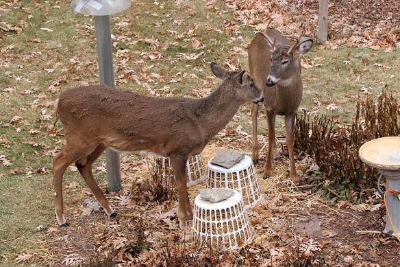 white-tailed bucks facing off