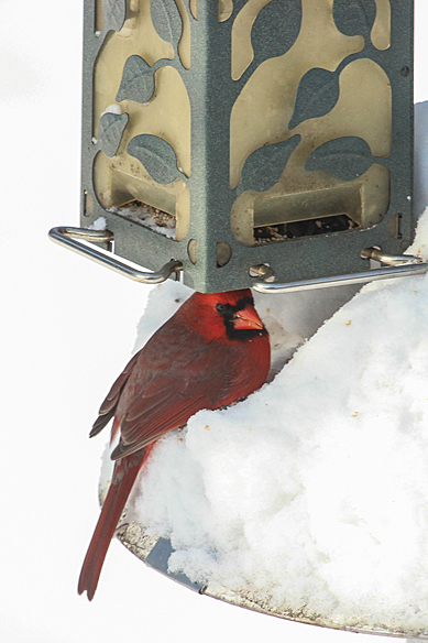 A bunch of sunflower seeds had piled up underneath the feeder, and I assume the cardinal dug through the snow to find them.