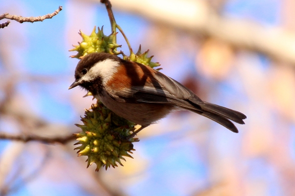 Chesnut-backed Chickadees explored the nooks in the sycamore seedpods for insects hiding there.