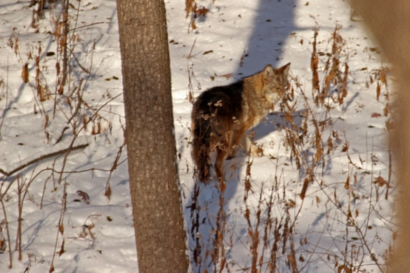 The coyote paused momentarily before heading up the hill toward the fox den.