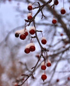 Frozen crabapple -- what could be better on a cold day?!