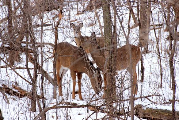 deer-in-the-winter woods