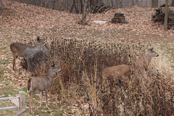 The left-over seed heads in the wildflower garden get chomped by the deer at this time of year.
