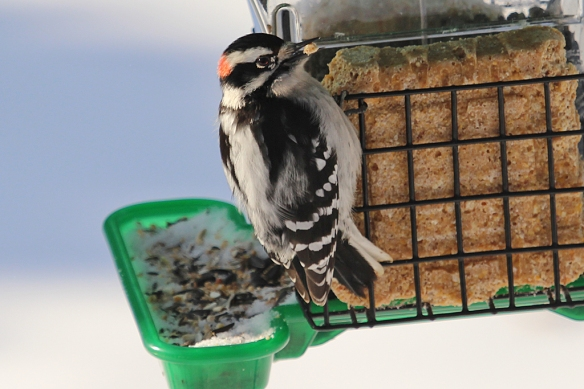 Peanut butter suet seems more attractive to the Downy Woodpecker and easier to extract.