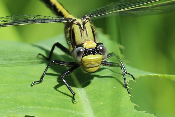 Horned Clubtail dragonfly - June 22, 2013