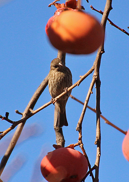 A female (or juvenile) House Finch inspects the fruit to determine which one to peck.