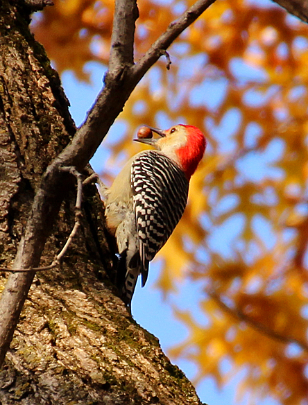 Red-bellied woodpecker storing acorns for the winter - November 8, 2013