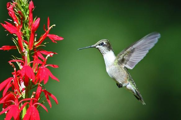 Ruby-throated Hummingbird approaching Cardinal flower - August 17, 2013