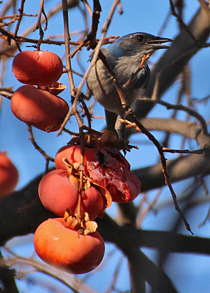 The sharp, chisel beak of a Scrub Jay can open up these fruits so other birds can feed on them.
