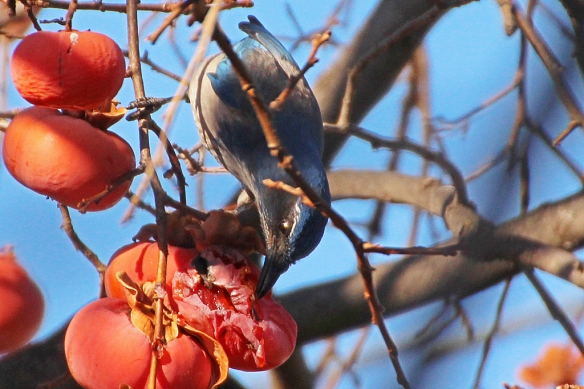 scrub jay feeding on persimmon