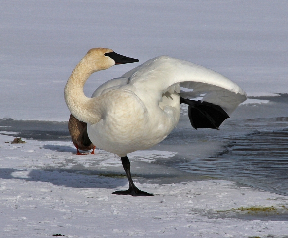 Ballet of the Swan - January 19, 2013