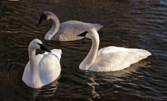 Swans seemed to stick together in small family groups.