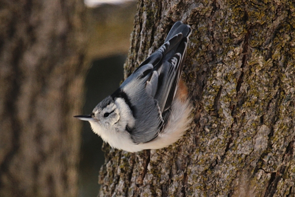 The nuthatch impression of a puffball on a tree trunk.