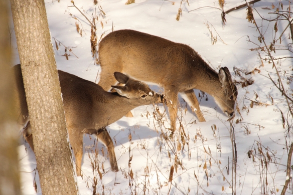 The twins munched their way across the backyard on a cold morning recently, in search of some nutrition from twigs and stems.