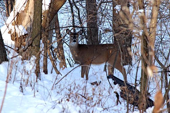 winter-deer