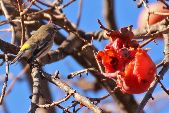 A flock of Yellow-rumped Warblers swarmed the fruits, digging into the gaping cracks in the fruit left by  larger-beaked birds