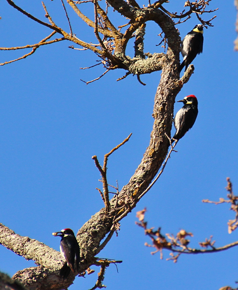 A group of three male (?) Acorn woodpeckers bring their acorns to the granary tree for storage.